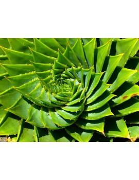 Aloe vera in fette ( spedizione gratuita ) 250gr - Ciaoone